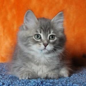 siberian forest kittens for sale