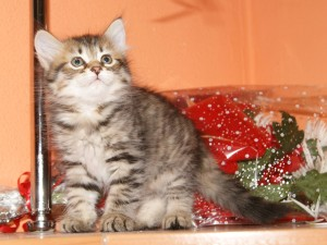 Angellur Miledy of Angel of Siberia as a  kitten 2