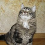 Brown Marble Tabby Traditional Cat I Angel of Siberia