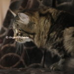 Brown Marble Tabby Traditional Cat I Angel of Siberia hypoallergenic siberian forest kittens for sale I Angel of Siberia