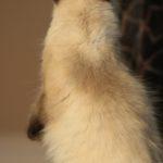 Seal Point Neva Masquerade Cat I Angel of Siberia