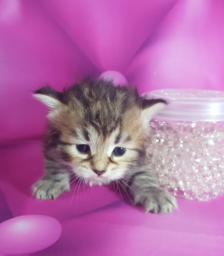 hypoallergenic siberian forest kittens for sale I Angel of Siberia