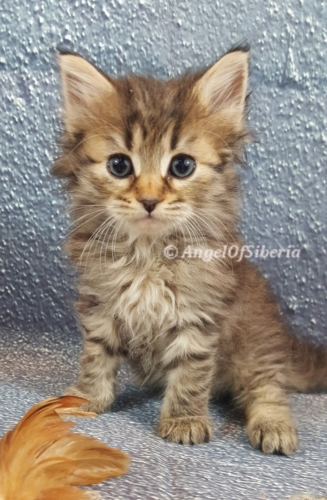 Angel of Siberia Ash bl male main Brown Classic Tabby Traditional Siberian Hypoallergenic Kitten I Angel of Siberia