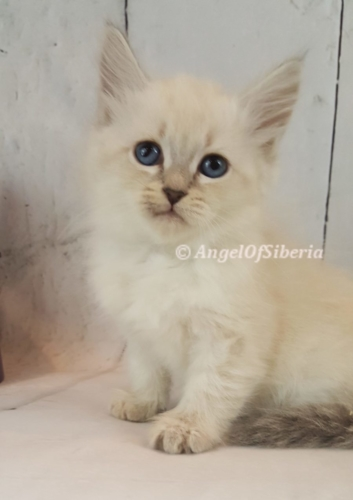 russian kittens for sale siberian cat breeders forest cats for sale siberian forest kittens for sale I Angel of Siberia
