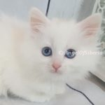 White Solid White Blue eyes Traditional Kitten I Angel of Siberia