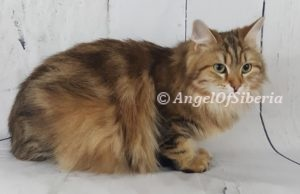 Brown Classic Tabby Traditional Cat I Angel of Siberia