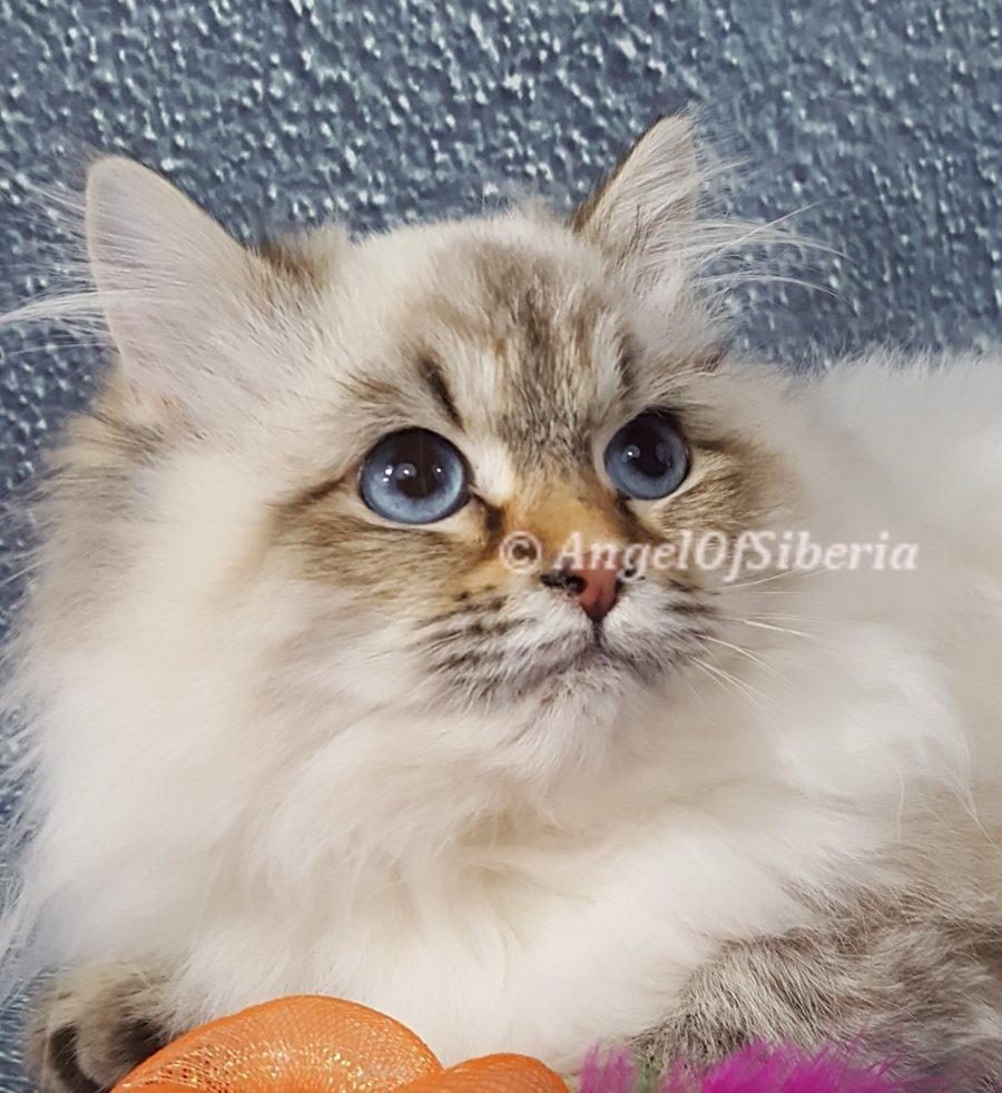 neva masquerade kitten hypoallergenic Siberian kittens washington siberian catteries