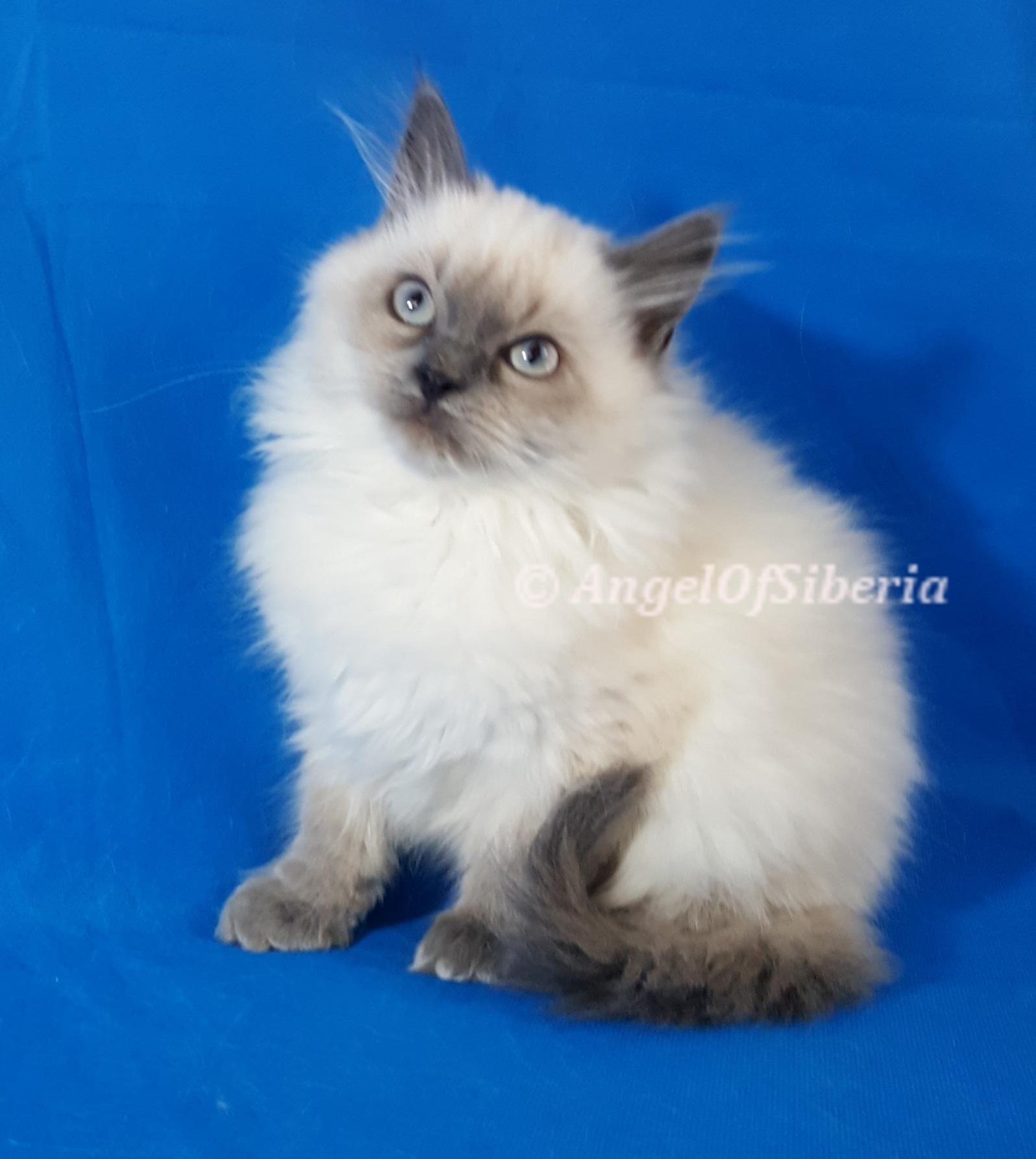 Blue Point Neva Masquerade Cat Hypoallergenic I Angel of Siberia