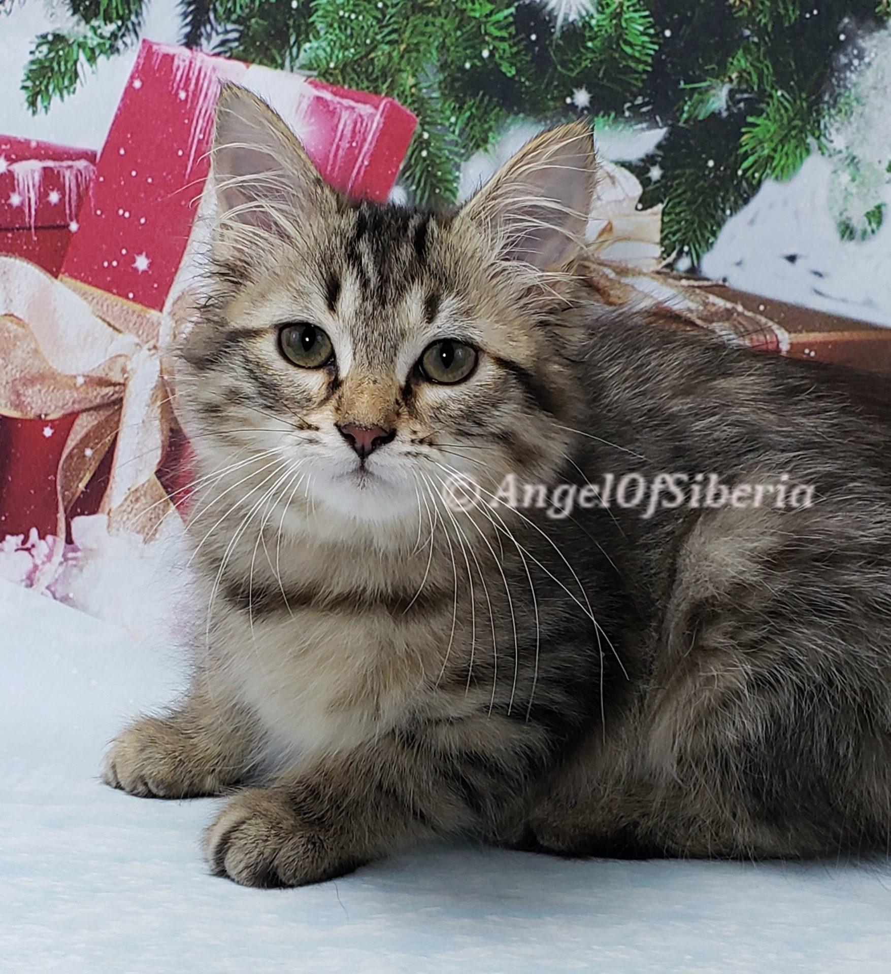 hypoallergenic kittens, hypoallergenic cats, Siberian cats, Siberian kittens, traditional Siberian cat - Angel of Siberia