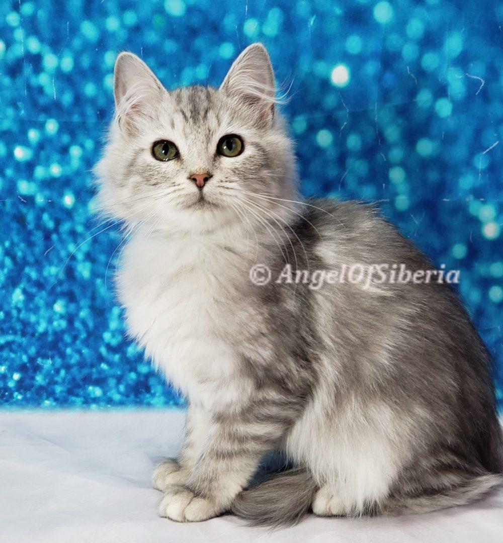 hypoallergenic Siberian kittens washington siberian catteries