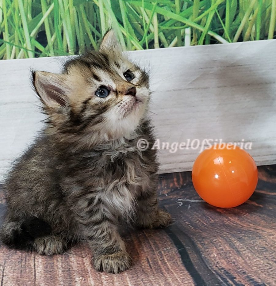 hypoallergenic Siberian kittens washington siberian catteries
