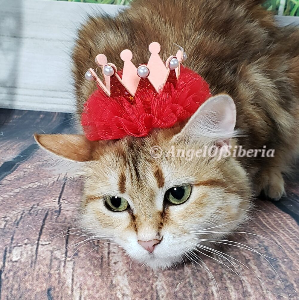 BLACK GOLDEN SHADED FEMALE hypoallergenic kittens, hypoallergenic cats, Siberian cats, Siberian kittens, traditional Siberian cat - Angel of Siberia